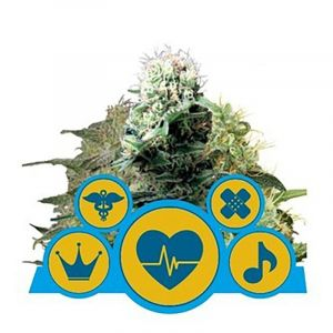 CBD Medical Mix feminised Royal Queen Seeds