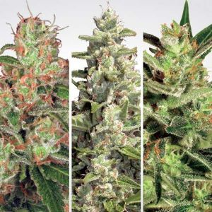 Auto Collection #2 Paradise Seeds-6
