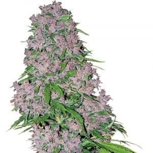 Purple Bud feminized White Label